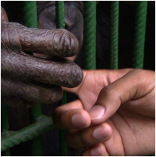 Chimps or Bonobos thumbnail