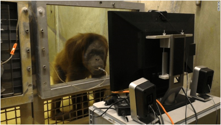 Description: Researchers use juice to attract the apes to the spot where they can watch the videos.