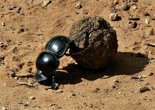 A beetle collecting dung