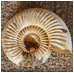 The Chambered Nautilus thumbnail